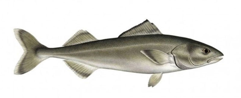 Bacalao negro Alaska seafood