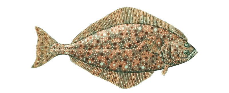 Halibut o fletán Alaska seafood