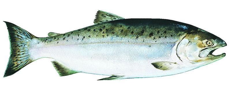 Salmón real Alaska seafood