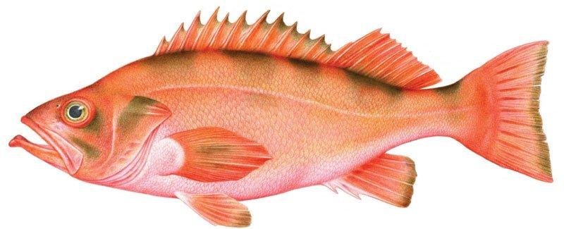 pescado de roca rojo Alaska seafood