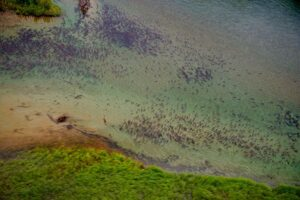 salmones-salvajes-subiendo-rio-alaska