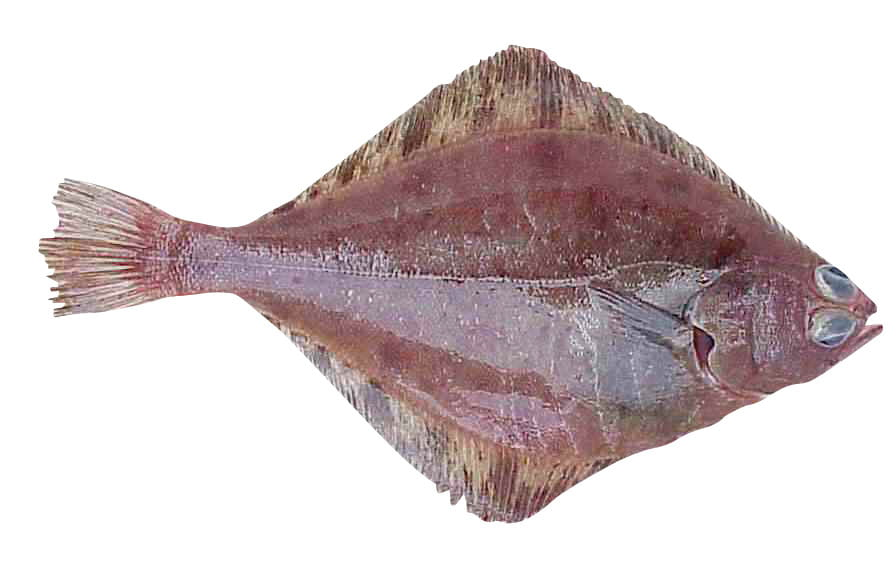 Flathead Sole 1